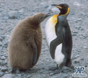 cd1025-s17.jpg - King penguin chick