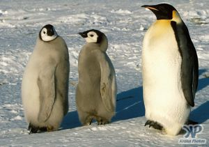 cd1025-s19.jpg - Emperor Penguin