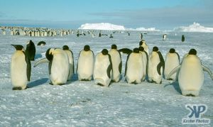 cd1025-s23.jpg - Emperor penguins