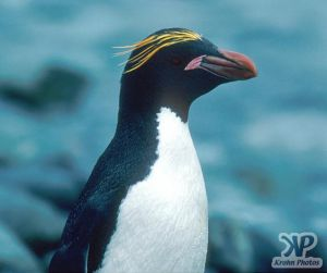 cd1025-s31.jpg - Macaroni penguin