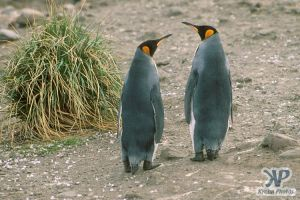 cd1026-s03.jpg - King penguins
