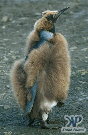 cd1026-s09.jpg - King penguin chick