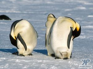 cd1026-s12.jpg - Emperor penguins