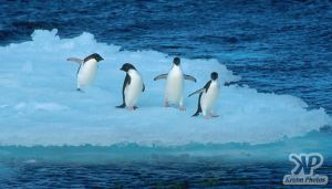 cd1026-s16.jpg - Adelie penguins