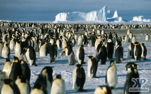 cd1026-s25.jpg - Penguin rookery