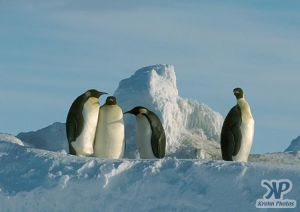 cd1026-s30.jpg - 4 Emperor penguins