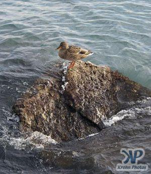 cd33-d29.jpg - Duck