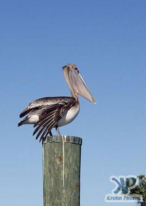 cd34-d03.jpg - Pelican