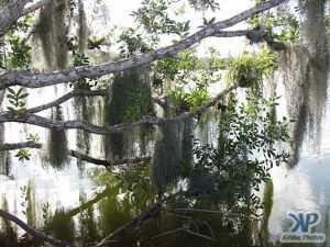 cd34-d21.jpg - Moss hanging from a tree