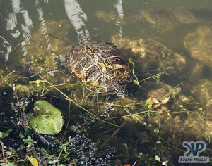 cd34-d27.jpg - Turtle in a pond
