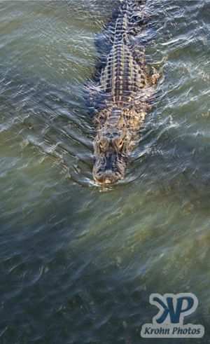 cd34-d50.jpg - Alligator