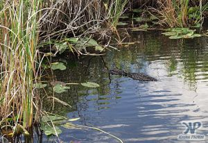 cd34-d56.jpg - Alligator floating in a pool