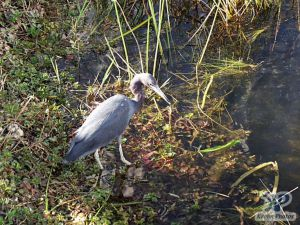cd34-d58.jpg - Heron looking for food