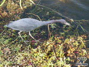 cd34-d59.jpg - Heron in the Everglades