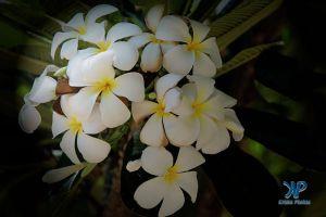 A7-DSC0087.jpg - Plumeria flower