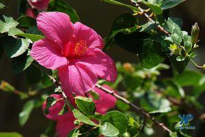 A7-DSC0170.jpg - Hibiscus flower