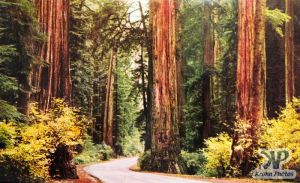 dvd2001-pc34.jpg - Redwoods