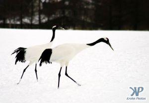 cd1011-d01.jpg - Two snow cranes