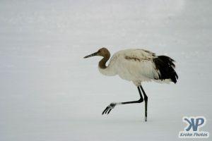 cd1011-d04.jpg - Snow Crane