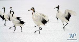 cd1011-d06.jpg - A group of cranes