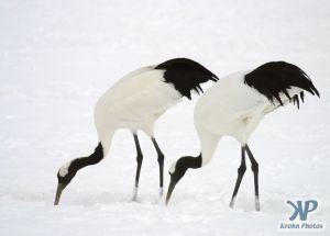 cd1011-d08.jpg - Two snow cranes
