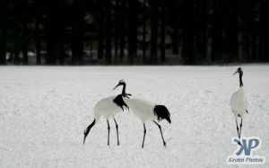 cd1011-d12.jpg - Three Cranes