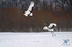 cd1011-d14.jpg - Two snow cranes