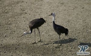 cd1011-d21.jpg - Two Cranes