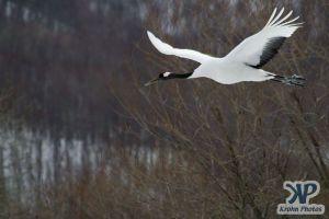 cd1011-d23.jpg - Snow crane