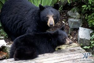 cd18-s04.jpg - Black Bear and Cub