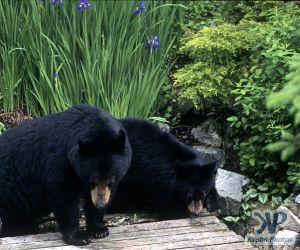 cd18-s11.jpg - Black Bears