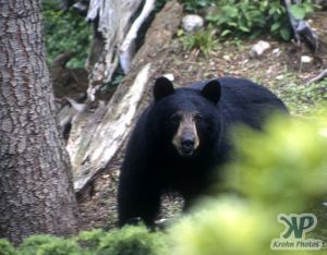 cd18-s16.jpg - Mother Black Bear