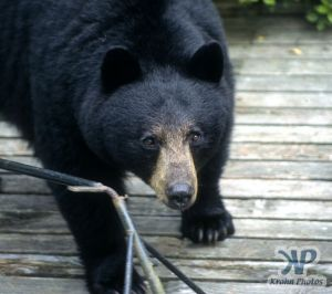 cd18-s18.jpg - Black Bear