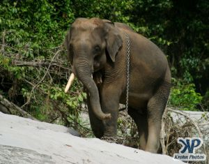 dvd1000-d182.jpg - Indian Elephant