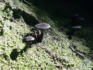 cd17-d28.jpg - Fungi on a mossy forest floor