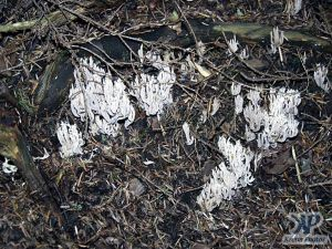 cd17-d29.jpg - Feathery fungi