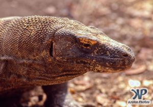 dvd1001-s01.jpg - Komodo Dragon