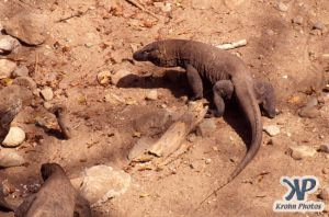dvd1001-s06.jpg - Komodo Dragons