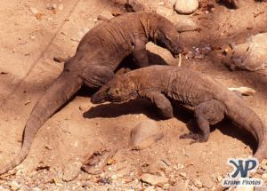 dvd1001-s07.jpg - Two Komodo Dragons