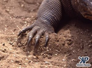 dvd1001-s08.jpg - Komodo Dragon claw