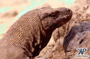 dvd1001-s09.jpg - Komodo Dragon