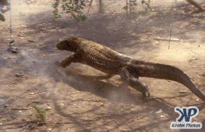 dvd1001-s11.jpg - Komodo Dragon