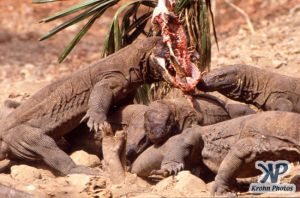 dvd1001-s12.jpg - Komodo Dragons