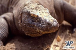 dvd1001-s13.jpg - Komodo Dragon