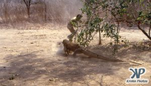 dvd1001-s16.jpg - Komodo Dragon