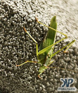 cd17-d20.jpg - Green Grasshopper