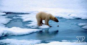 cd1005-s09.jpg - Polar Bear