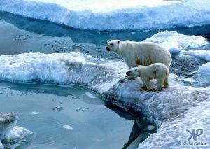 cd1005-s15.jpg - Polar Bear