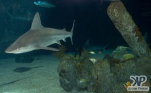 cd132-d05.jpg - A shark