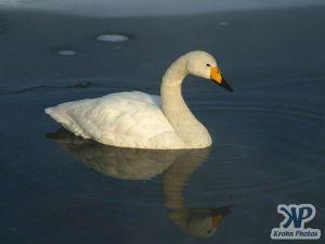 cd1012-d03.jpg - A single swan